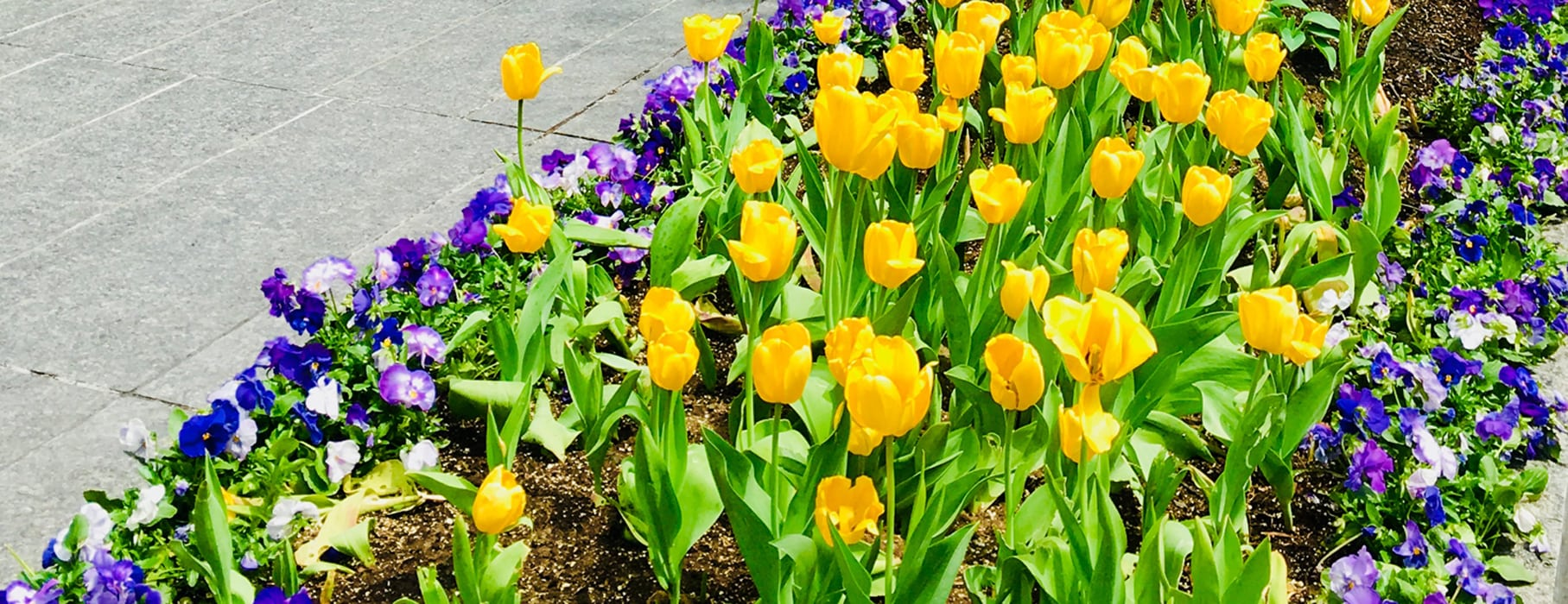 Annual Tulip Bulb Giveaway