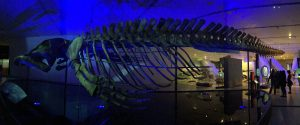 blue whale at the ROM