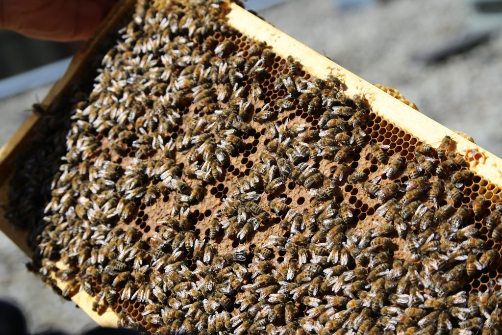 Close-up Photo of a frame from the bee hive, with lots of bees
